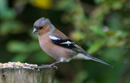 chaffinch on stump
