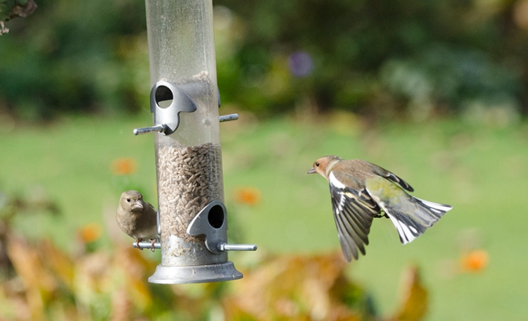 chaffinches here and there