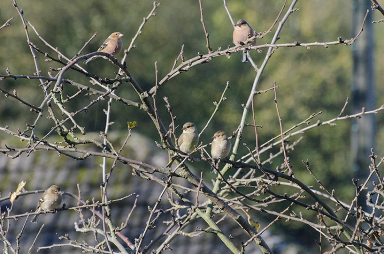 chaffinches in plum tree Oct