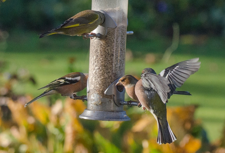 CHAFFINCHES ON FEEDER