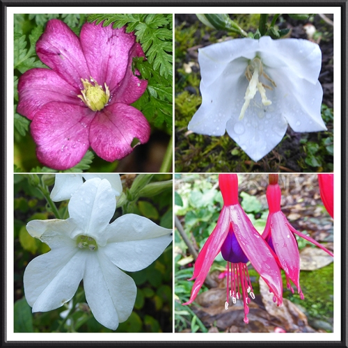 clematis, campanula, nicotians and fuchsia