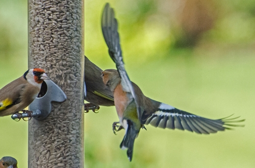 close flying chaffinch
