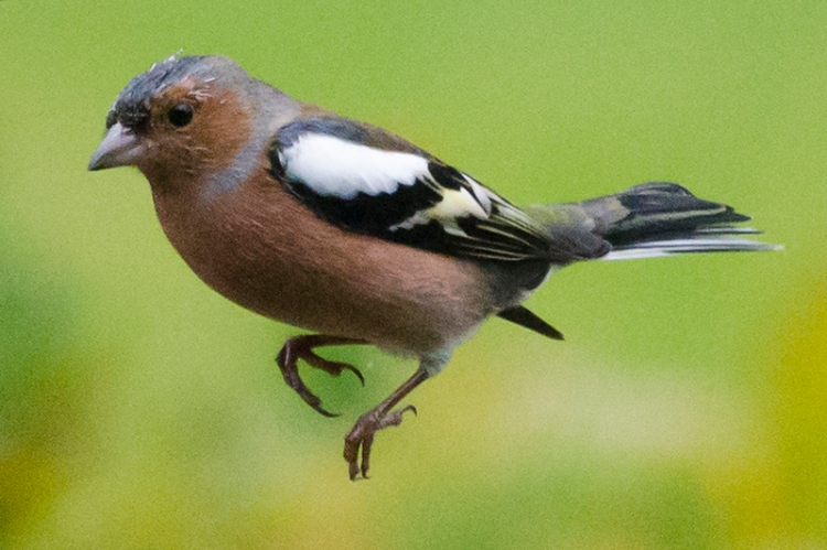 close up flying chaffinch