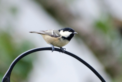coal tit on pole