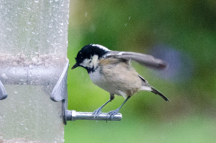 coal tit paying flying vivit