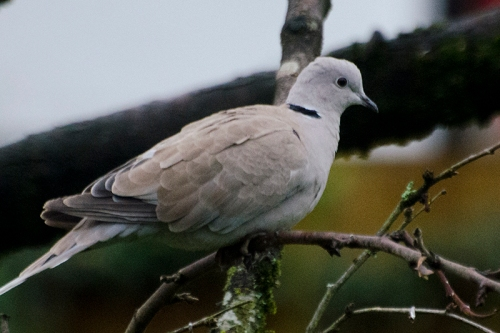 Collared dove at rest