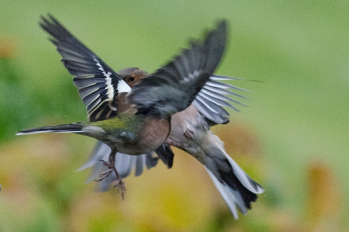 confused flying chaffinches