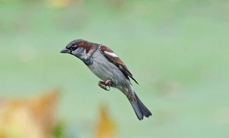 diagonal flying sparrow