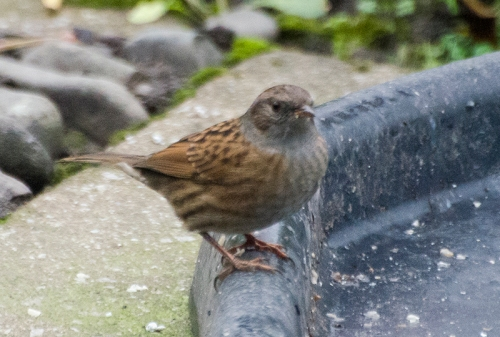 dunnock Oct