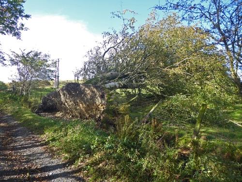 fallen tree on Meikleholm track