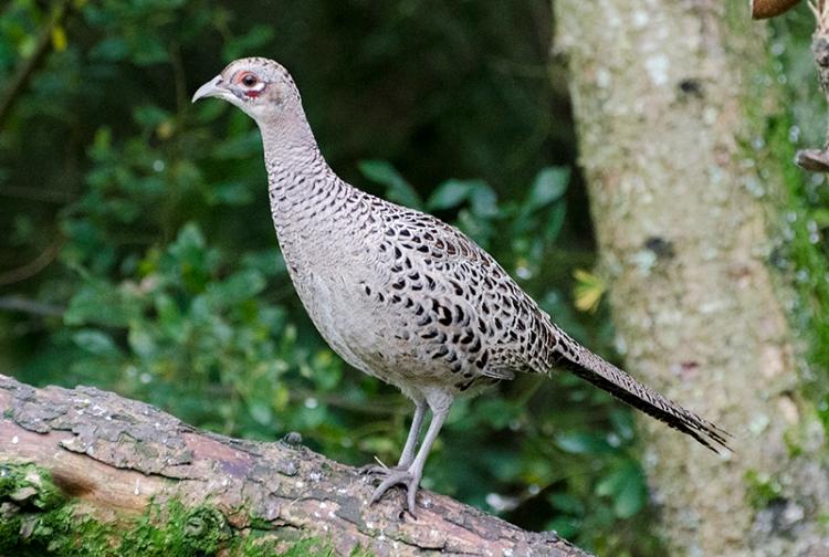 female pheasant moorland