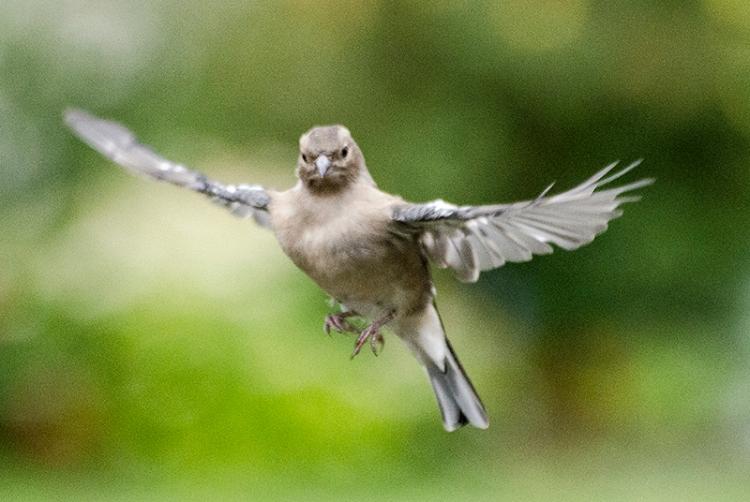 fierce chaffinch