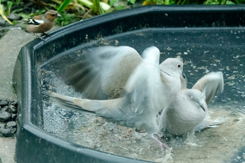 fighting doves