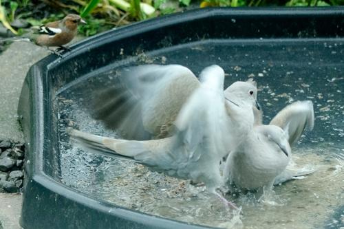 fighting doves
