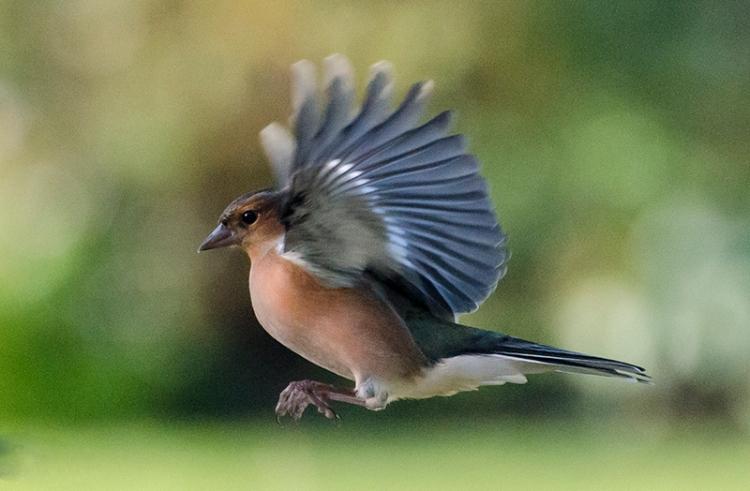 flying chaffinch 28 Oct
