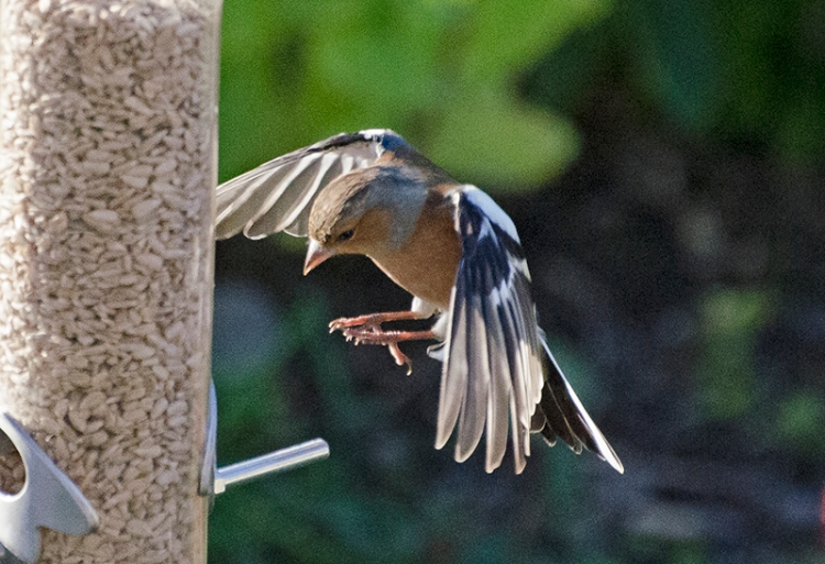 flying chaffinch concentrating