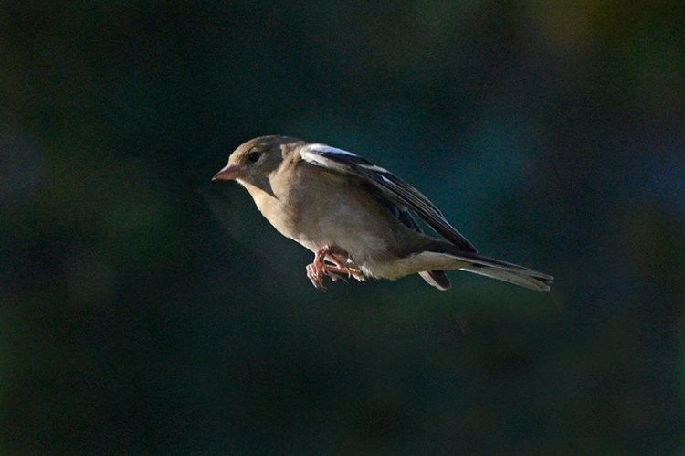 flying chaffinch in late sun