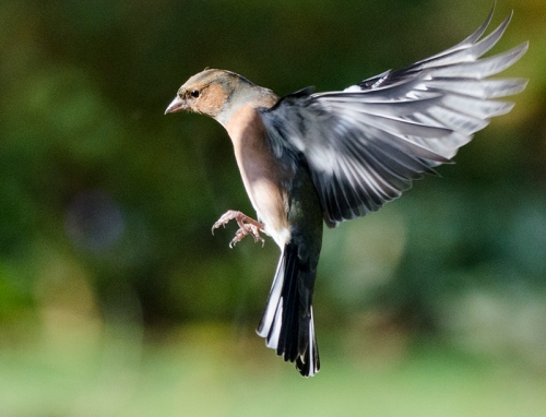 flying chaffinch in sun