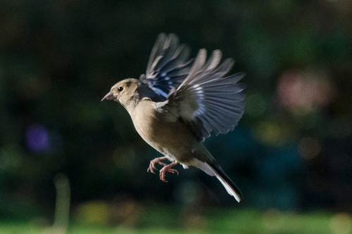 FLYING FEMALE CHAFFINCH