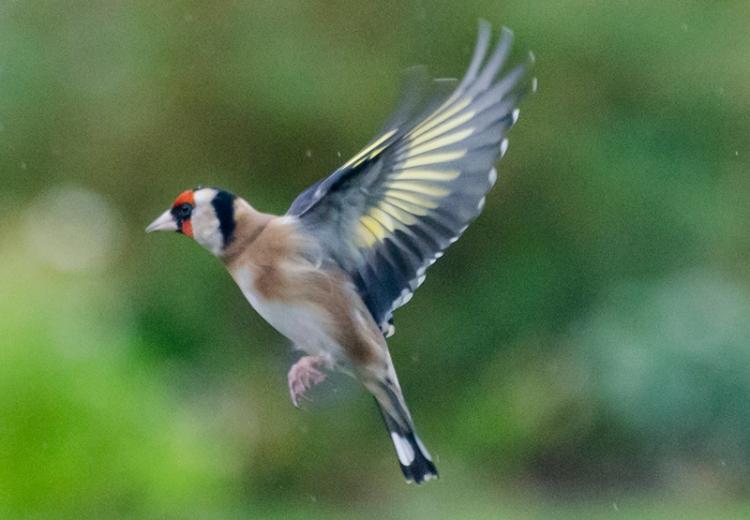 flying goldfinch 2