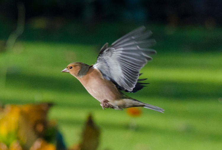 flying male chaffinch