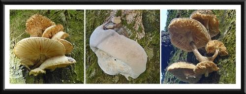 fungus on Meikleholm track