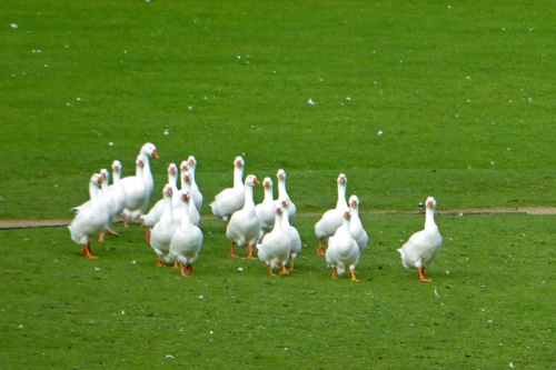 geese at annandale water services