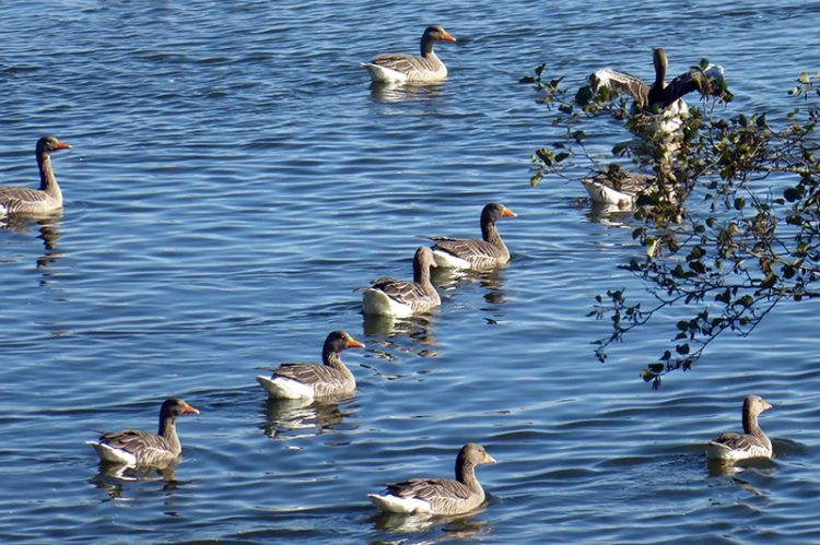 geese at Lontwon pond 2