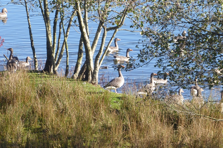 geese at Lontwon pond