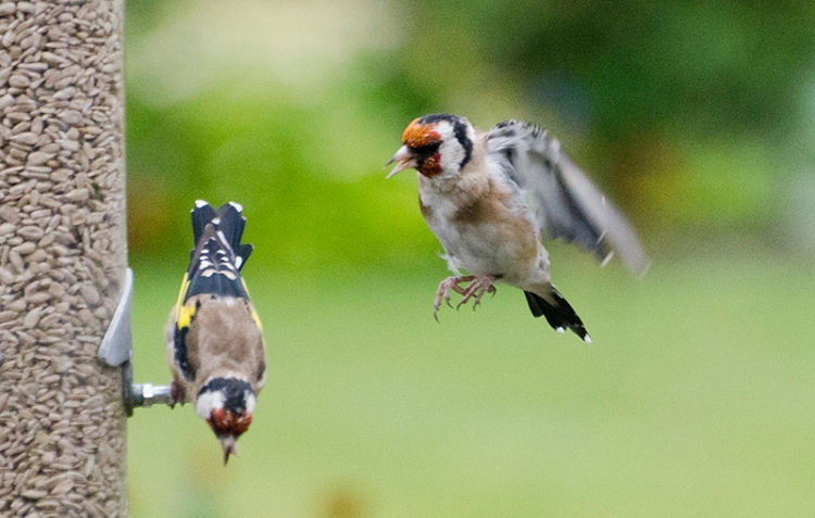 goldfinch coming and going