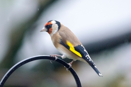 goldfinch on arch