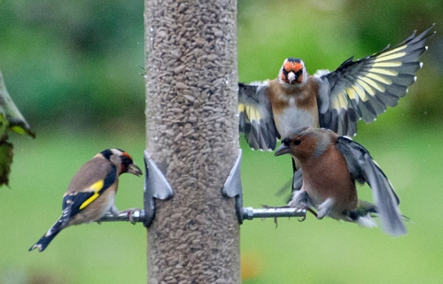 goldfinch threatening chaffinch