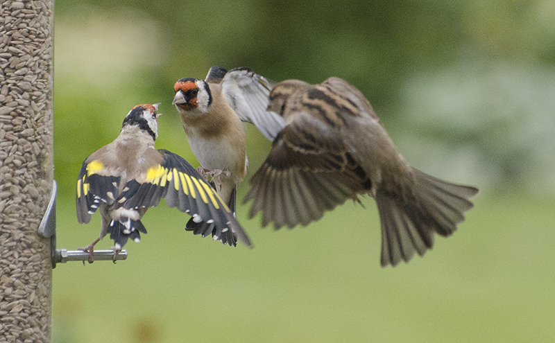 goldfinches in discussion