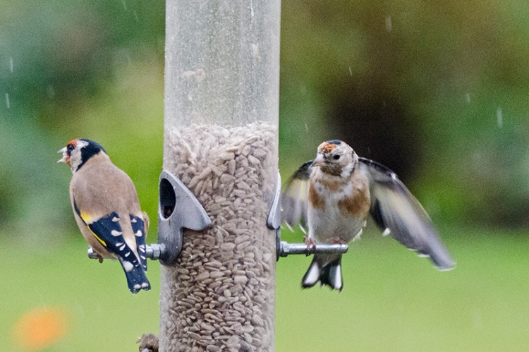 goldfinches in the rain