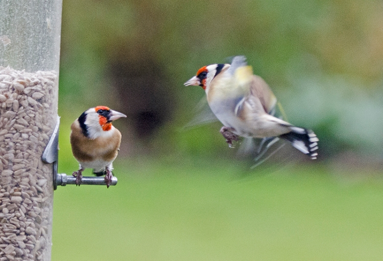 goldfinches staring