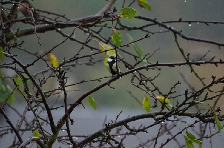 great tit in wet plum tree