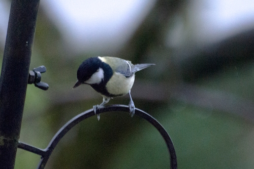 great tit on feeder pole