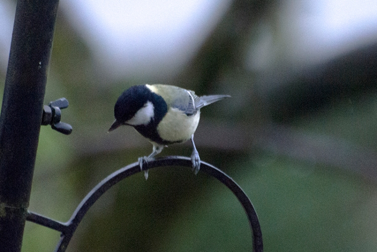 great tit on feeder pole