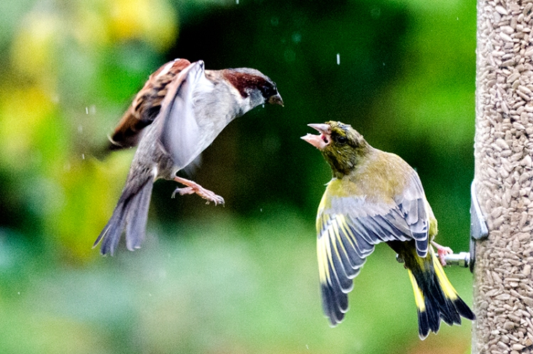 greenfinch being rude to sparrow