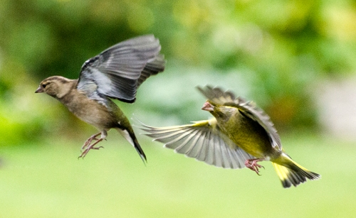 greenfinch in pursuit