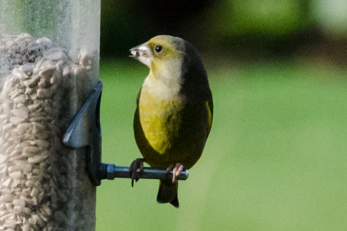 greenfinch in shadow