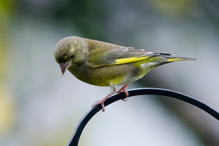 greenfinch on arch