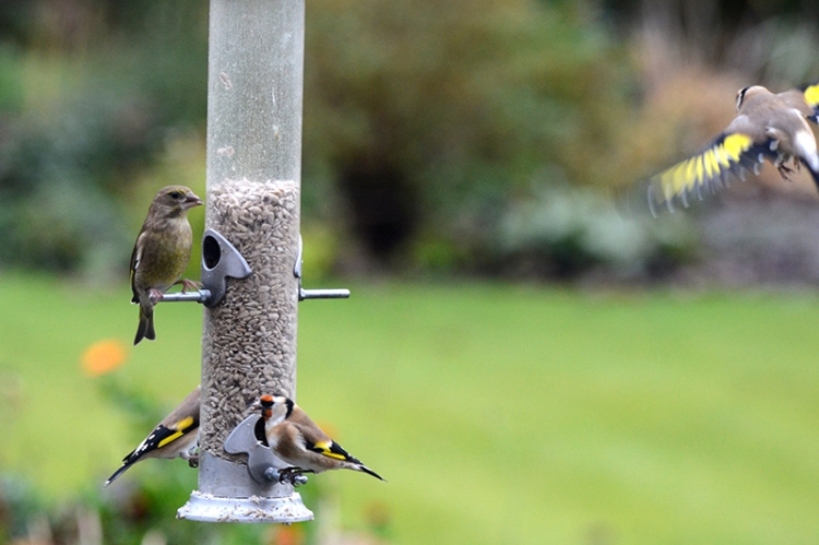 greenfinch on goldfinch alert