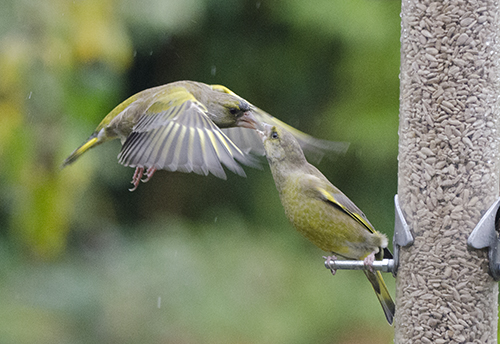 greenfinches squabbling