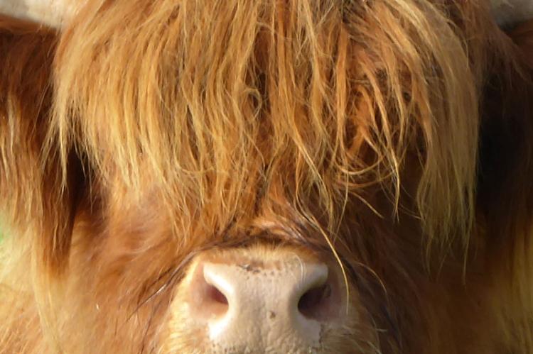 highland coo close up