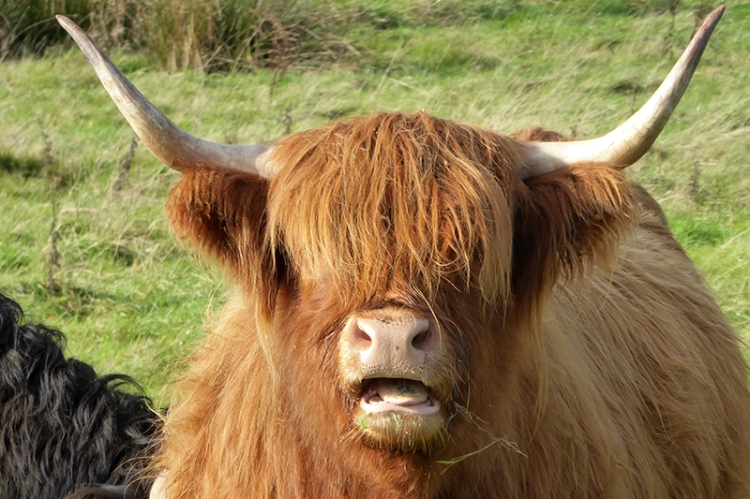 highland coo mouth open
