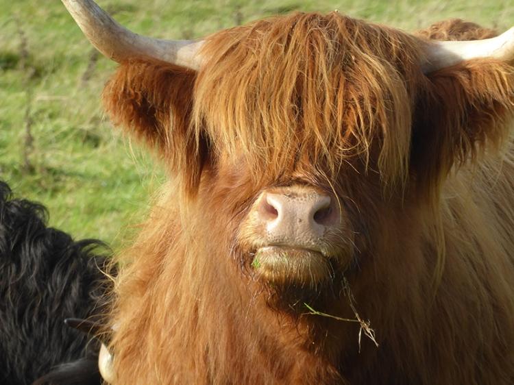 highland coo mouth shut