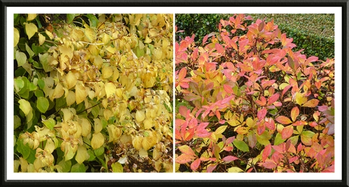 hydrangea and azalea in autumn