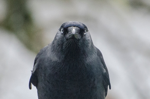 Jackdaw hard stare