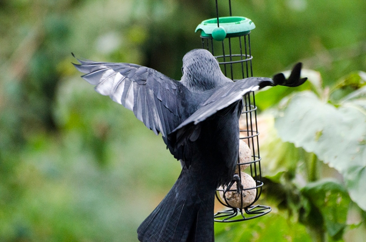 jackdaw with white